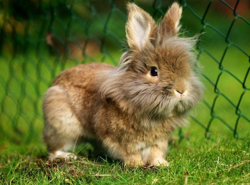 Львиноголовый кролик фото
