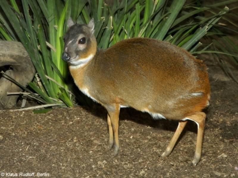 Маленькая карликовая антилопа фото (лат. Neotragus pygmaeus)