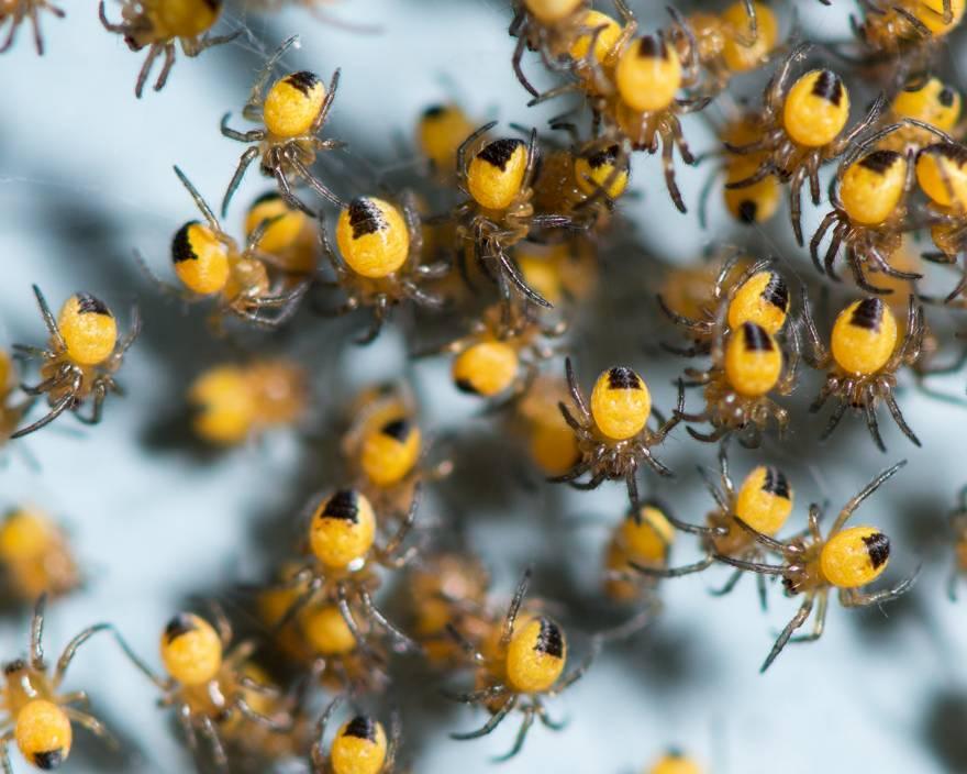 Маленькие пауки-крестовики обыкновенные фото