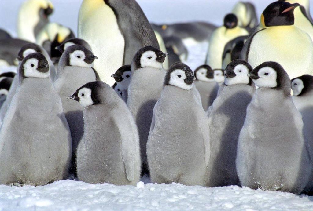 Маленькие пингвины птенцы фото