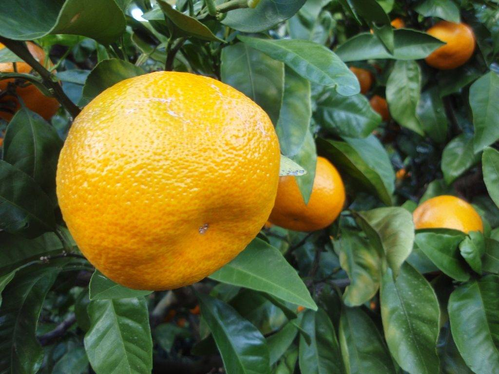 Мандарин уншиу фото (лат. Citrus unshiu)