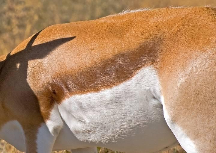 Мех антилопы фото