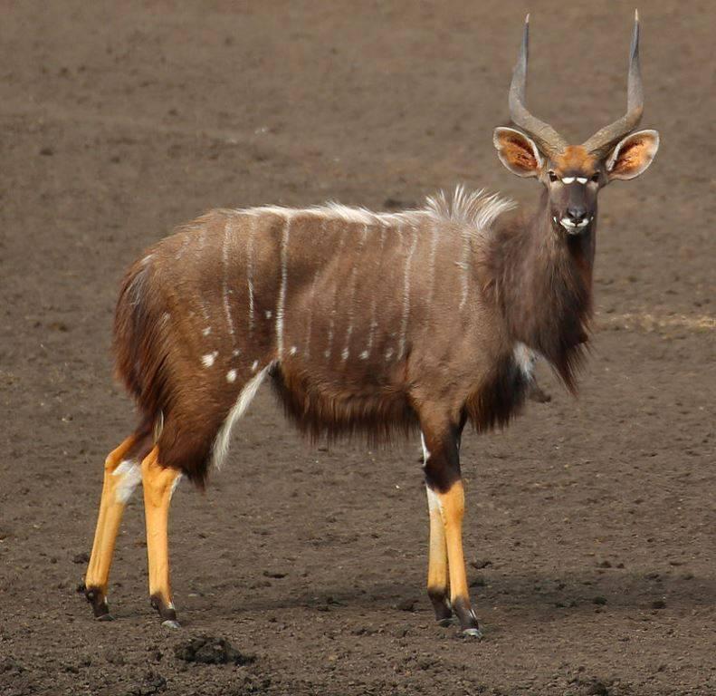 Ньяла (равнинная ньяла) самец фото (лат. Tragelaphus angasii)
