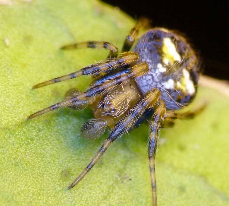 Паук-крестовик Araneus albotriangulus фото