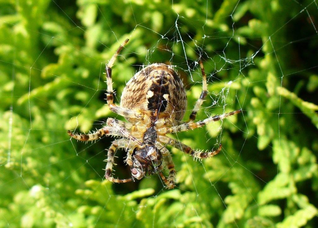 Паук-крестовик Araneus cavaticus (овинный паук) фото