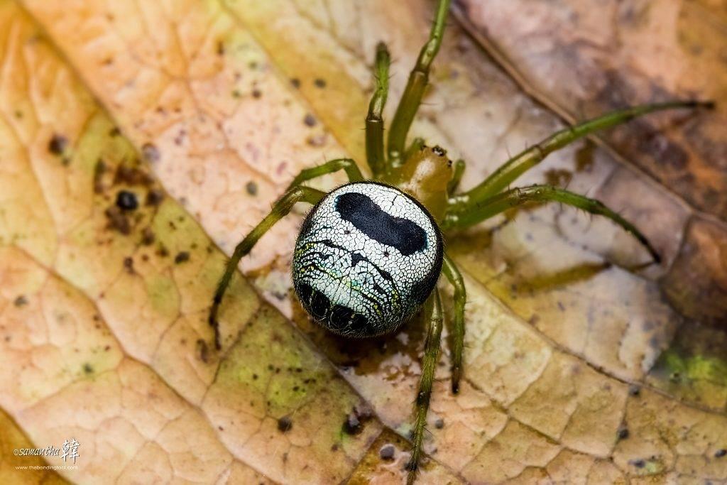 Паук-крестовик Araneus mitificus (паучок Принглс) фото