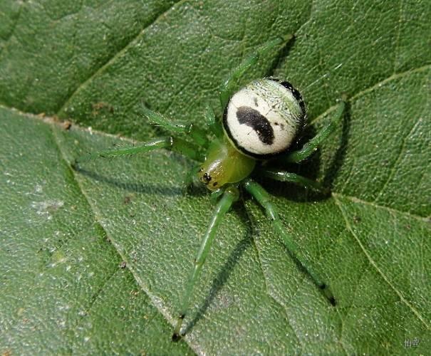 Паук-крестовик Araneus mitificus фото