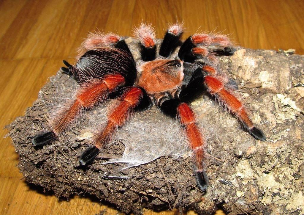 Паутина паука-птицееда фото