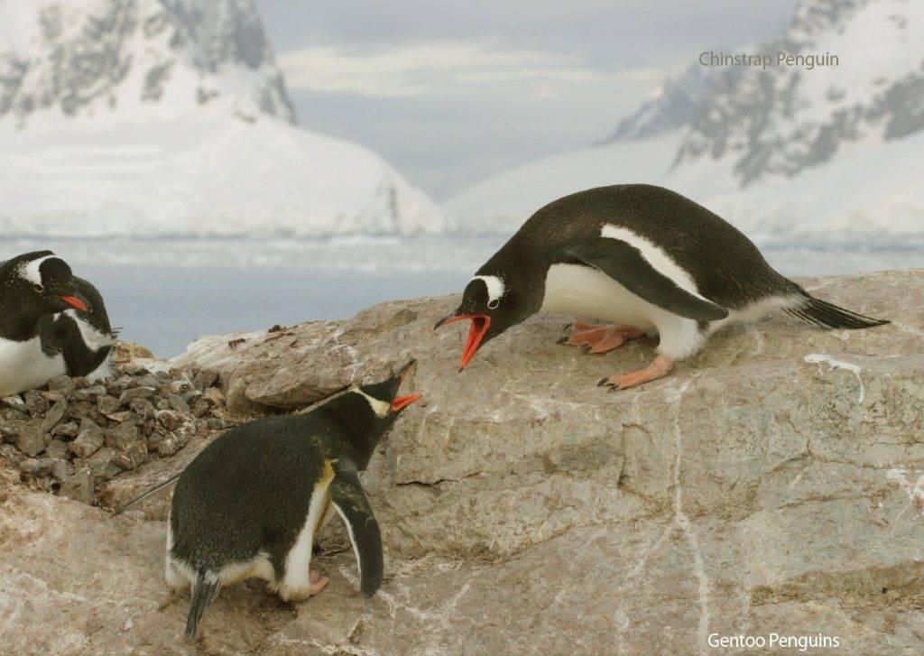 Пингвины дерутся фото