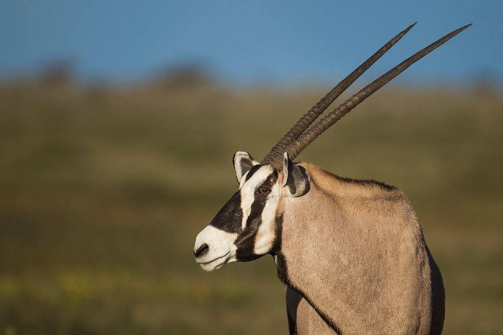 Рога антилопы орикс (лат. Oryx gazella) фото
