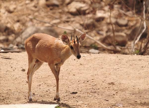 Рога четырехрогой антилопы фото (лат. Tetracerus quadricornis)