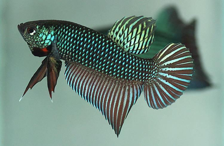 Рыбка петушок круглохвостый фото