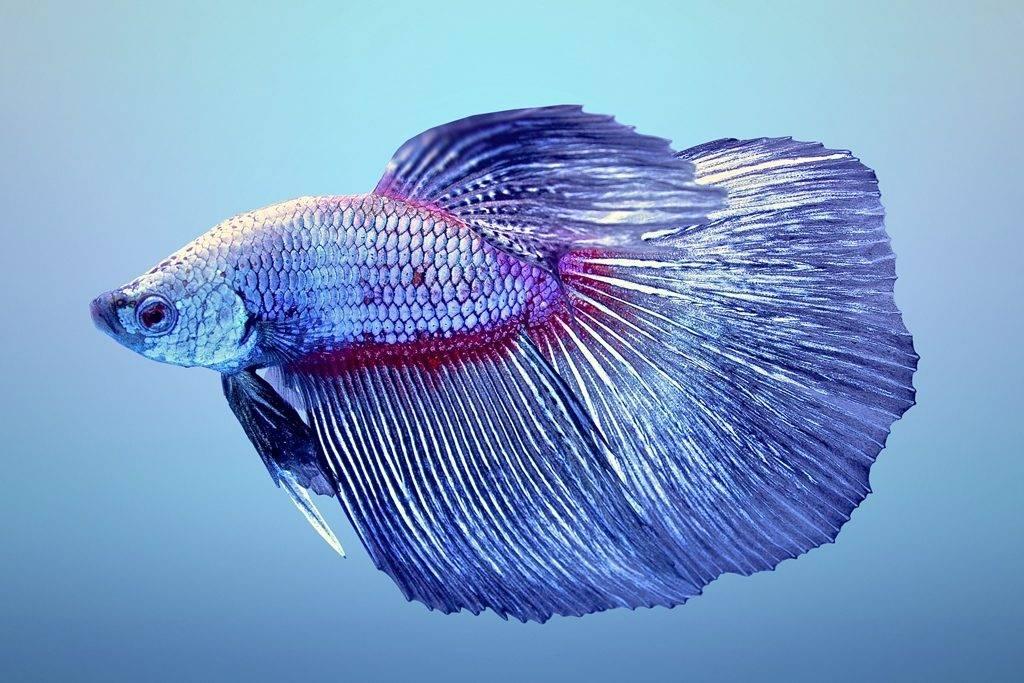 Рыбка петушок самец фото