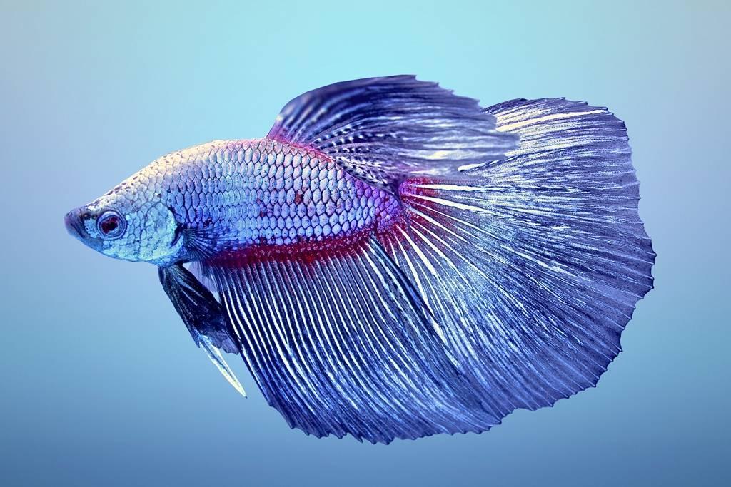 Рыбка петушок самка и самец отличия
