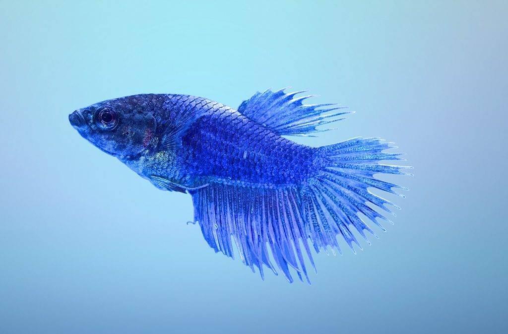 Рыбка петушок самка фото