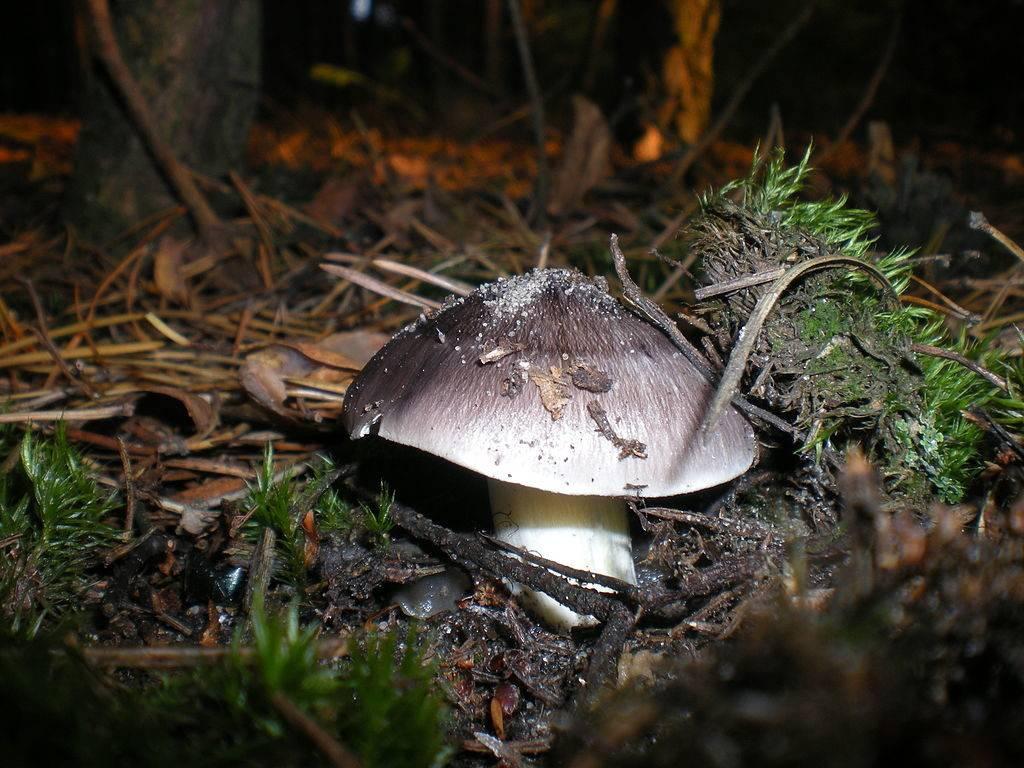 Рядовка серая (рядовка штриховатая, подсосновик, серушка, подзеленка, серый песочник) фото (лат. Tricholoma portentosum)