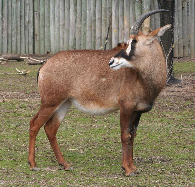 Саблерогая лошадиная антилопа фото