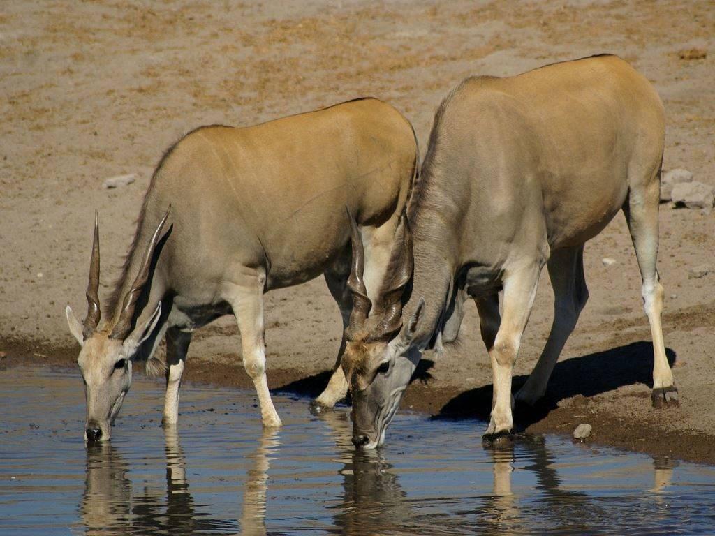 Самая крупная антилопа в мире обыкновенная канна фото