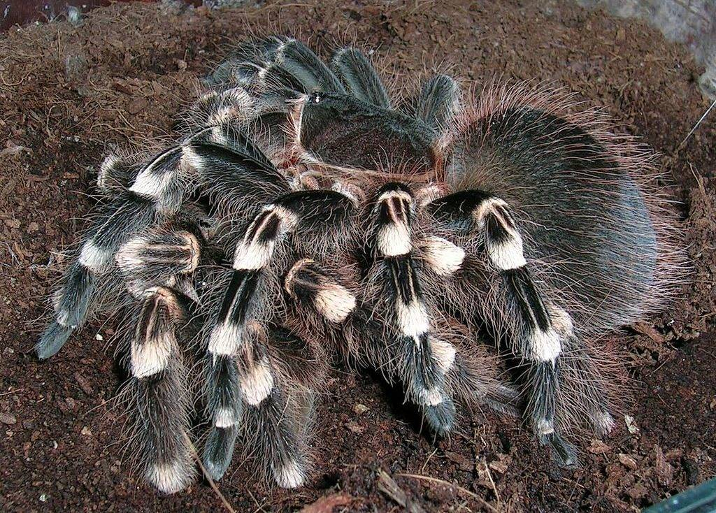 Самка паука птицееда убила самца фото