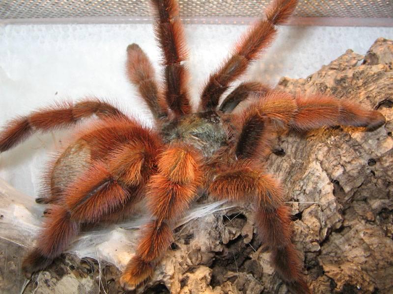 Самка паука-птицееда Avicularia versicolor фото