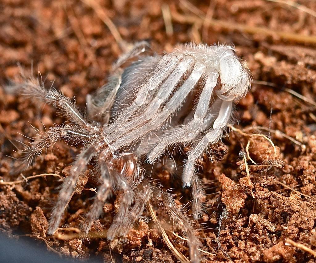 Сброшенный во время линьки экзоскелет паука-птицееда Brachypelma smithi