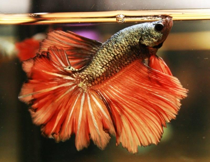 Сиамский петушок перьехвост фото