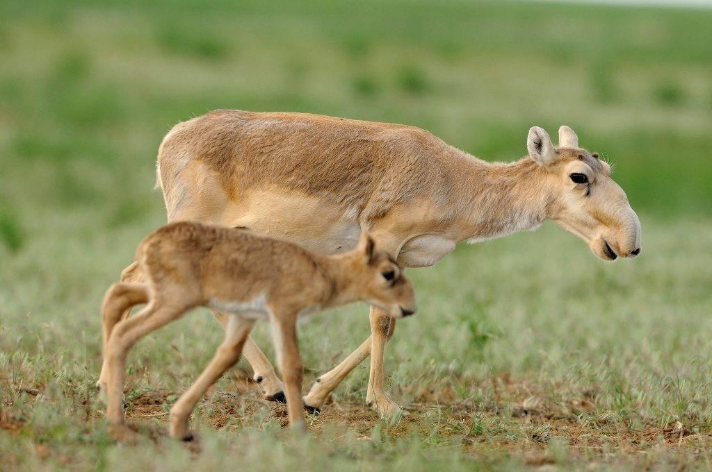 Степная антилопа сайгак фото