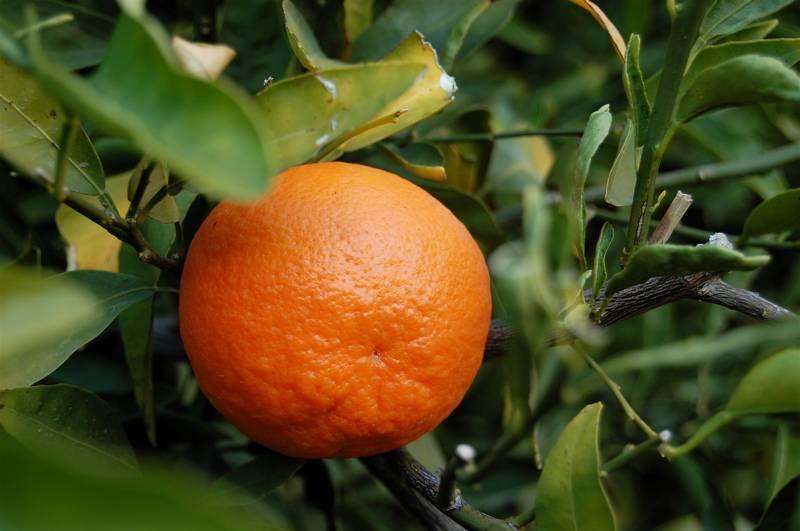 Танжерин фото (лат. Citrus Tangerina)