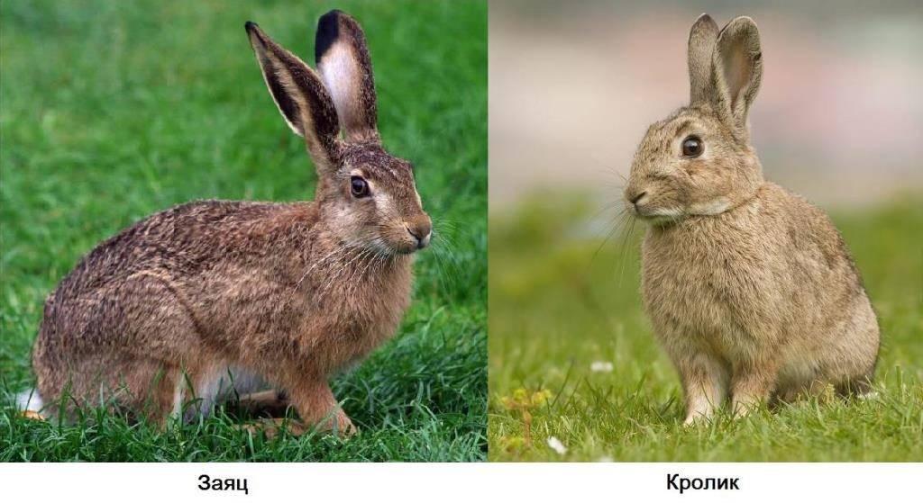 Чем отличается заяц от кролика фото