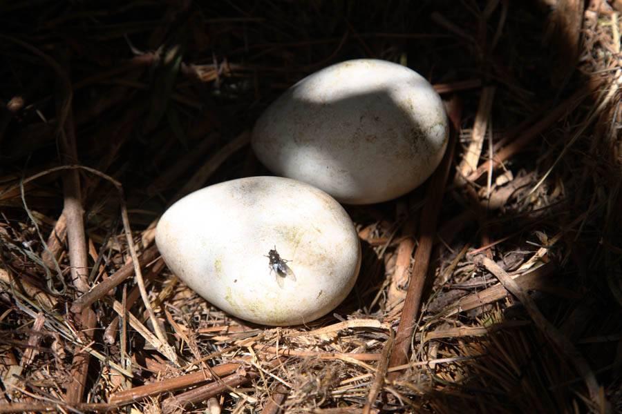 Яйцо пингвина фото