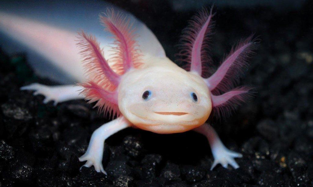 Аксолотль, личинка амбистомы фото