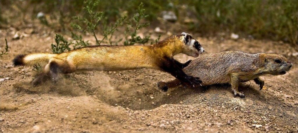 Американский хорек охотится на луговую собачку фото