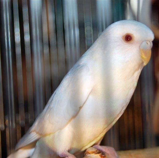 Белый волнистый попугай альбинос фото