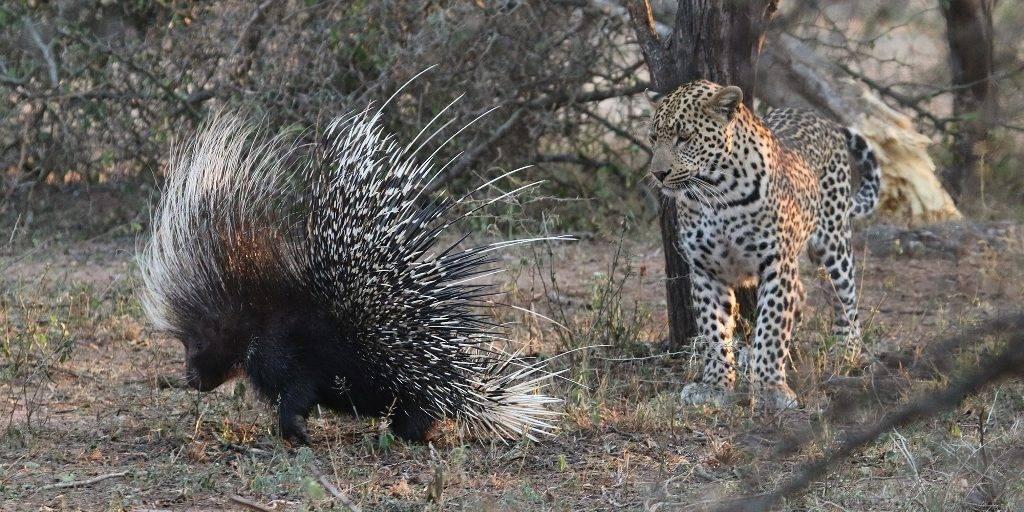 Враги дикобраза в природе фото