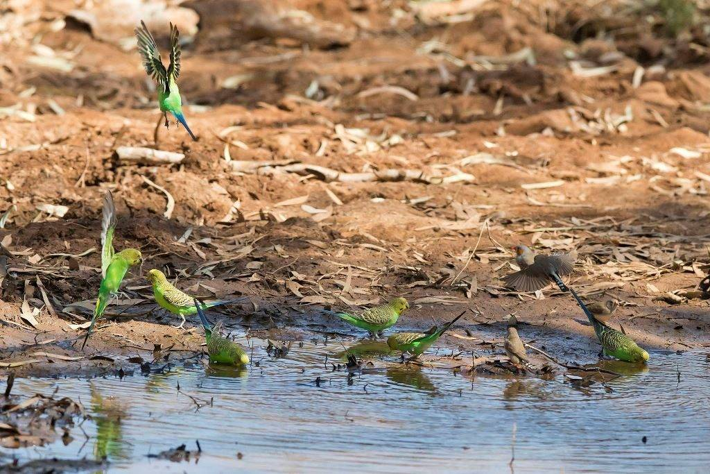 Где живут волнистые попугайчики фото