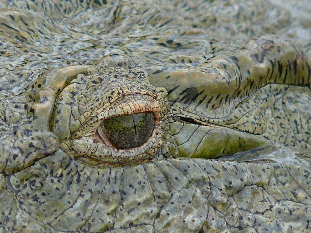 Глаза нильского крокодила фото