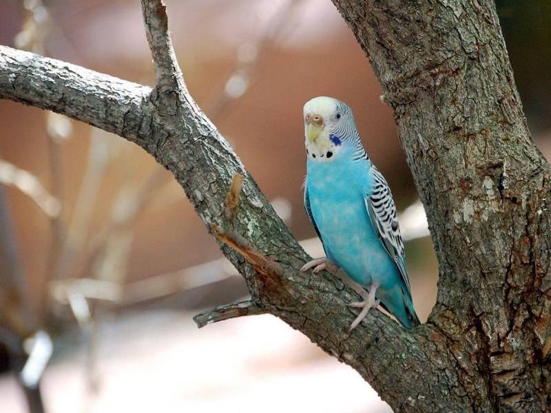 Голубой волнистый попугай фото