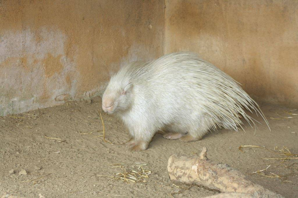 Дикобраз альбинос фото