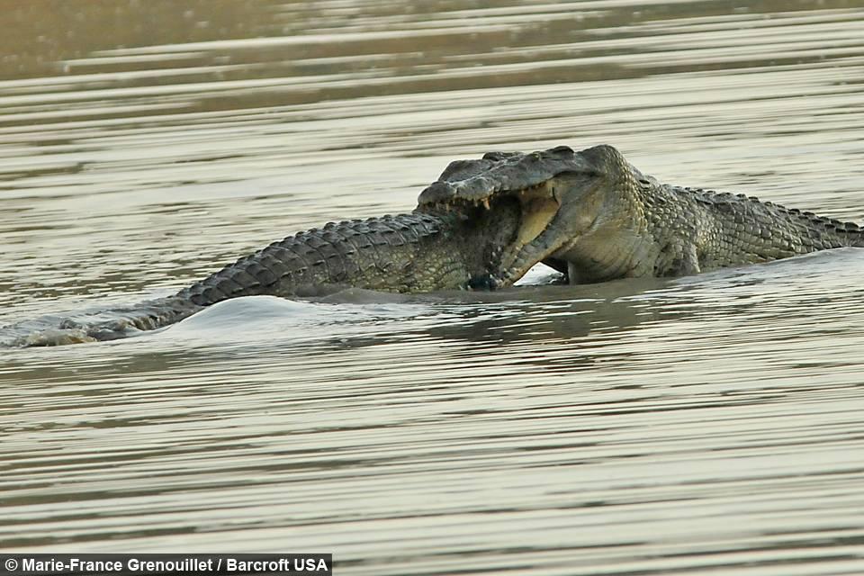 Драка нильских крокодилов фото