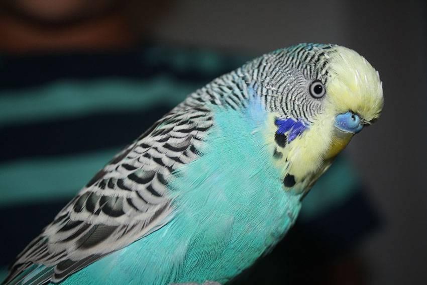 Желтолицый волнистый попугай фото
