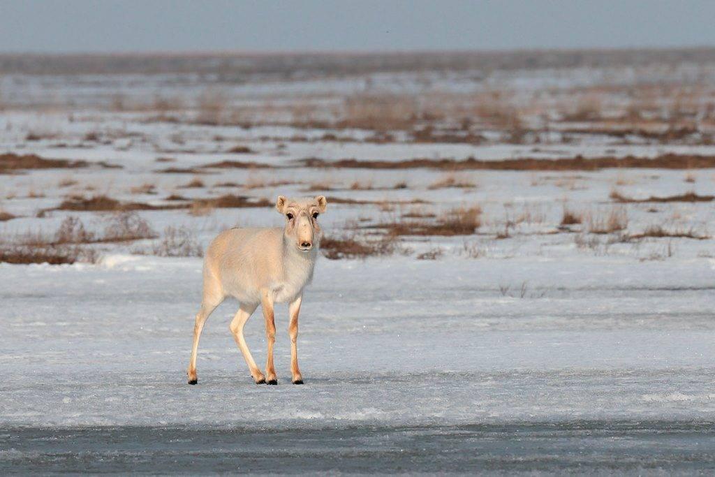 Зимний мех сайгака фото