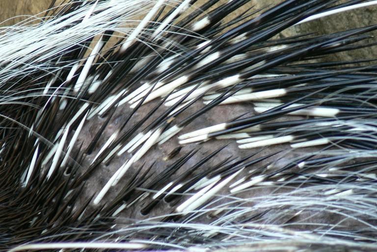 Иголки дикобраза фото