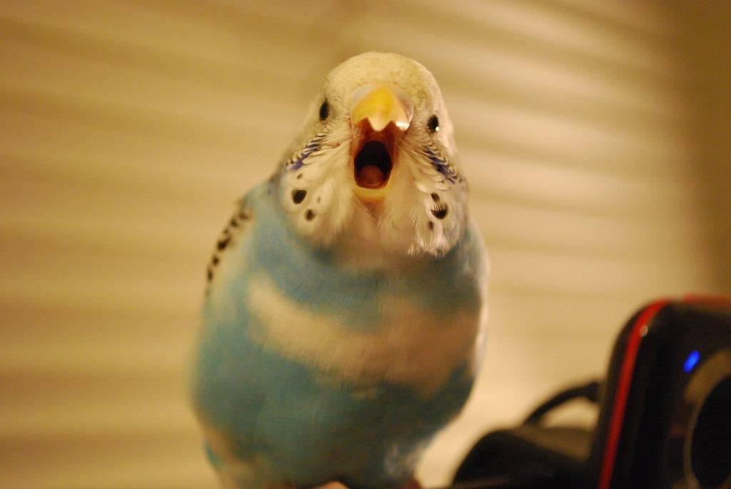 Как научить разговаривать волнистого попугая фото