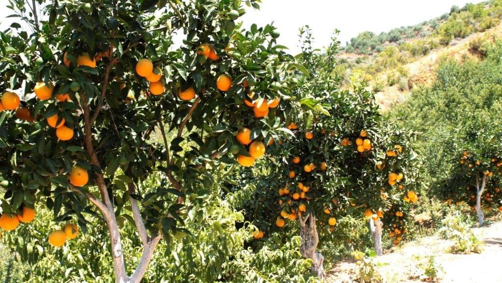 Как растут апельсины фото