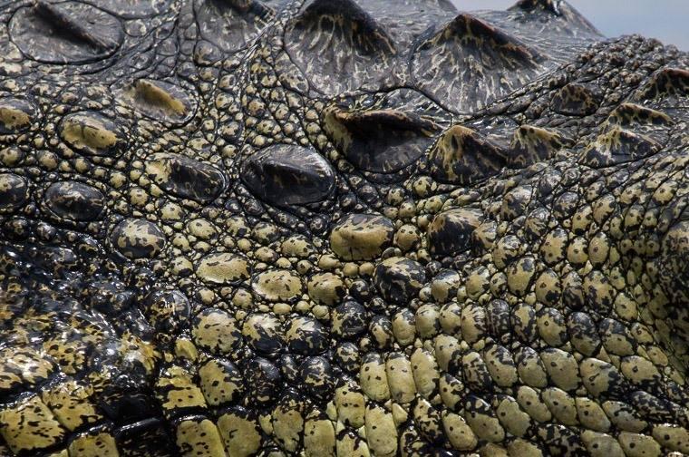 Кожа нильского крокодила фото