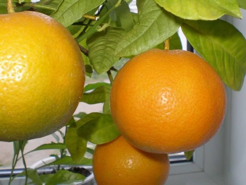 Комнатный апельсин фото