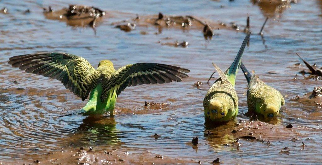 Крылья волнистого попугая фото