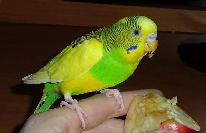 Лапы волнистого попугая фото