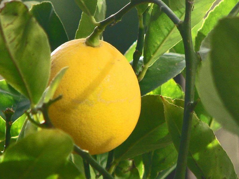 Лимон Мейера фото (лат. Citrus meyeri)