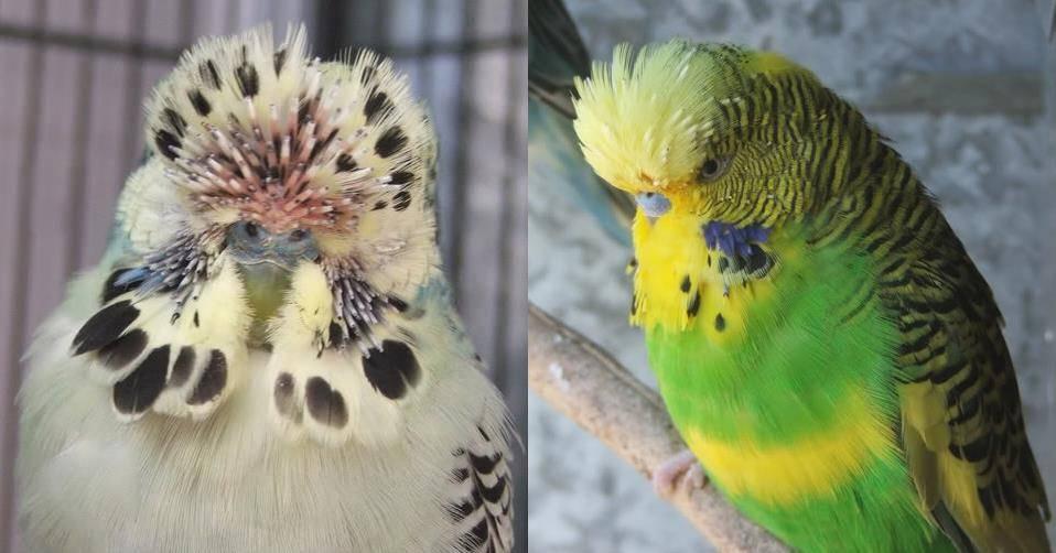 Линька у волнистых попугаев фото